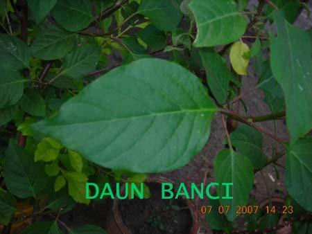 Daun Banci dari dekat><br>Bentuk Daun Banci<br><br /> <img src=